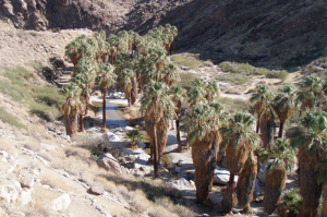 Palm trees in Palm Canyon